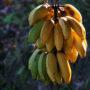 banano_24_a