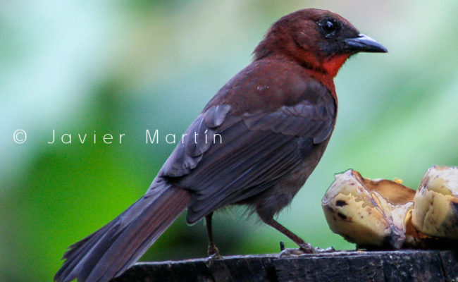 red_throated_ant_tanager_15_web