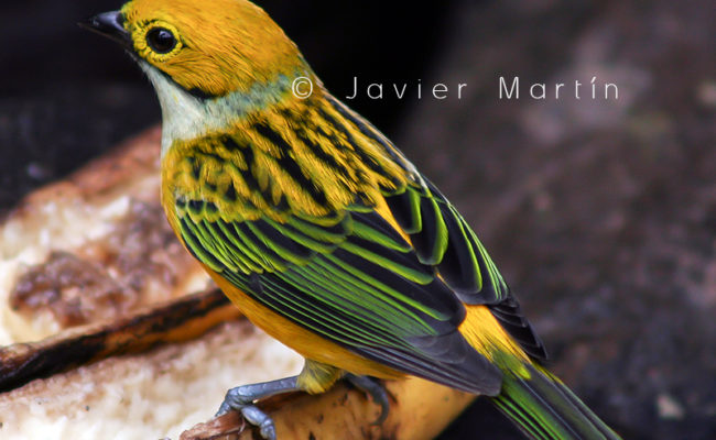 silver_throated_tanager_0006
