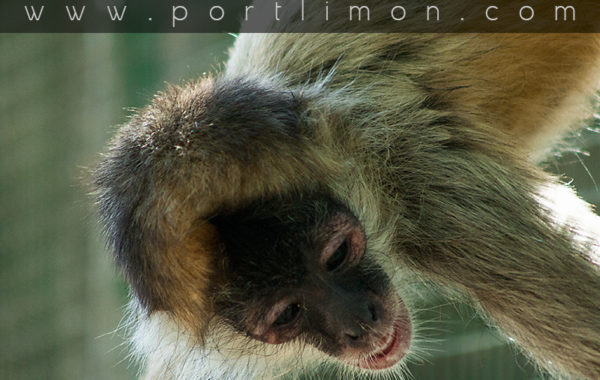 Neo-tropical Monkeys in Costa Rica