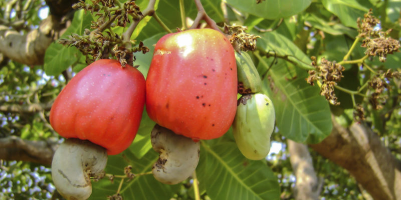 cashew-harvest