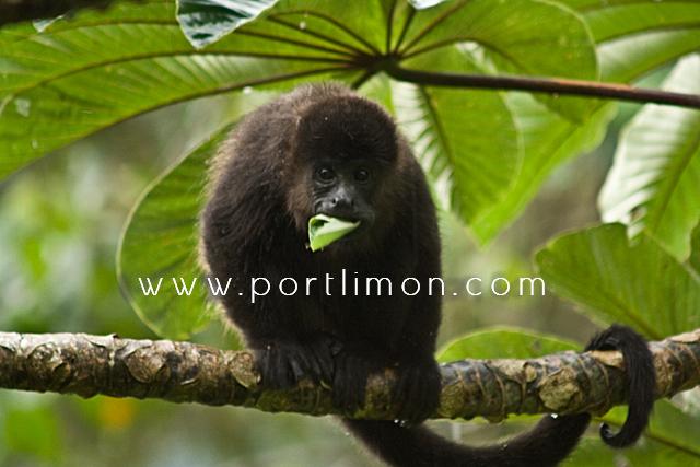 howler_monkey_portlimon