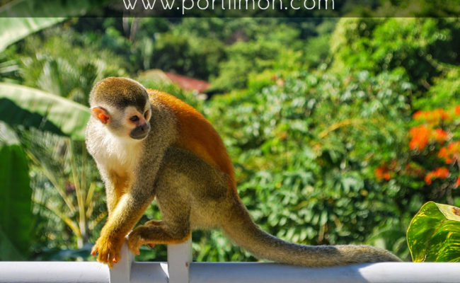 squirrel-monkey-2-2-portlimon