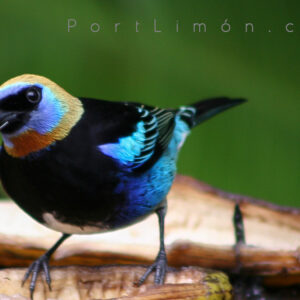 golden_hooded_tanager_02_a