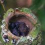 hummingbird_nest_03
