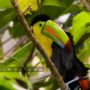keel_billed_toucan_09