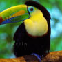 keel_billed_toucan_web_a
